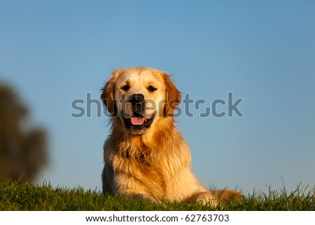 Golden Retriever with clear blue sky - stock photo