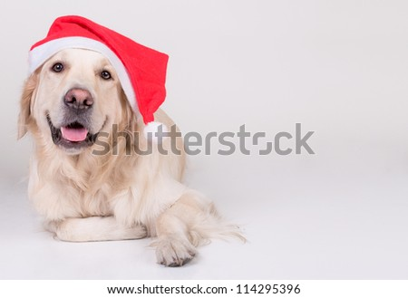 Golden Retriever xmas dog - stock photo