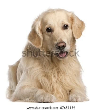 Golden Retriever, 7 years old, sitting in front of white background - stock photo