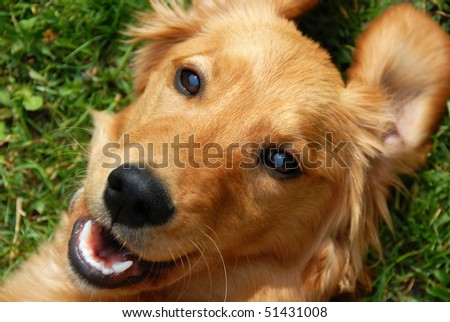 golden retriever young dog portrait diagonal closeup - stock photo