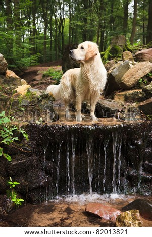 Golden Retrievers at Waterfall - stock photo
