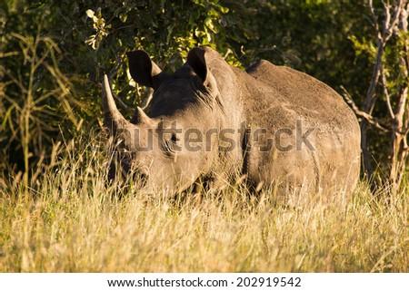 Golden Rhino - stock photo