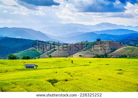 Golden rice filed  - stock photo