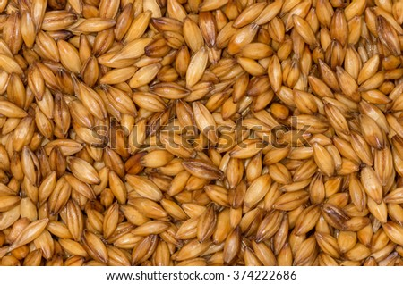 Golden ripe barley grains for planting close background texture - stock photo