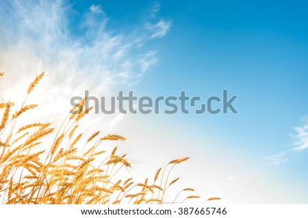 Golden ripe ears of wheat on the field - stock photo