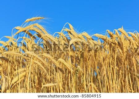 golden ripe wheat - stock photo