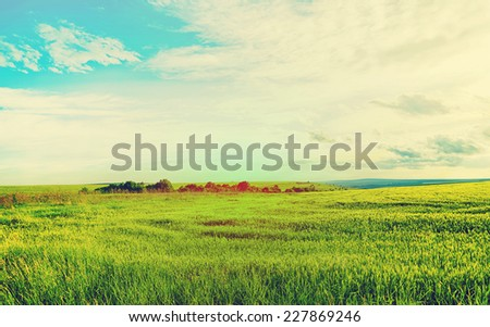 Golden ripe wheat field in sunny day. Agricultural landscape in retro style