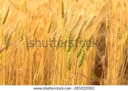 Golden ripe wheat field, soft focus - stock photo