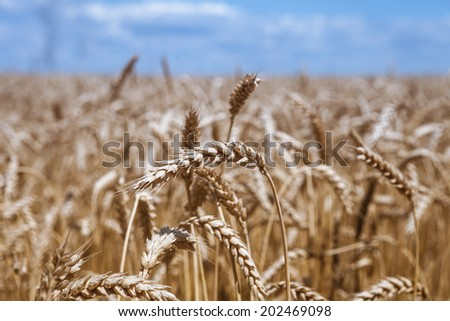 Golden ripe wheat field, sunny day, soft focus, agricultural landscape, growing plant, cultivate crop, autumnal nature, harvest season concept