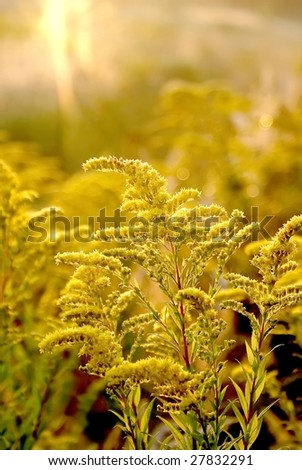 Golden rod wildflower on a field at sunrise at the end of summer. - stock photo