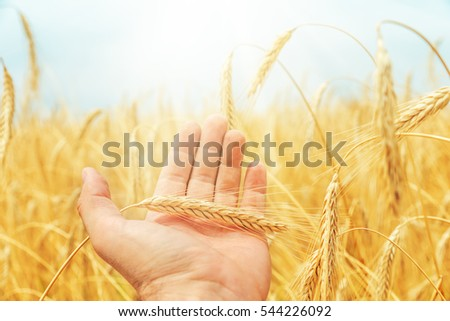 golden rye in the hand over field and sun in sky