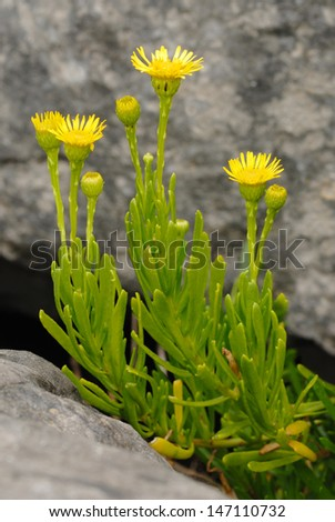 Golden Samphire (Limbarda crithmoides) on a welsh cliff - stock photo