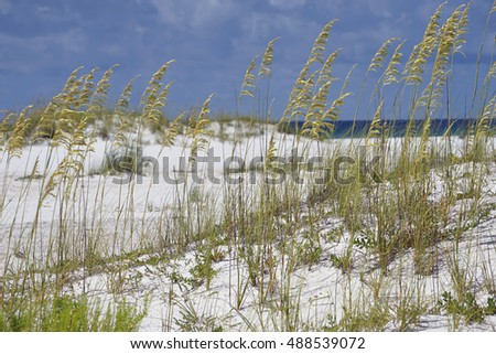 Golden sea oats waving in the breach on a pristine beach in Pensacola, Florida