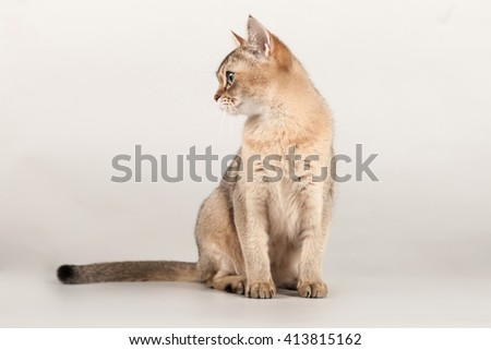 golden short hair breed cat sit and looking right side at gray background - stock photo