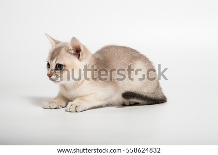 golden short hair burmilla breed cat two month sit and looking at side on white background