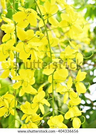 Golden shower Coon flowers yellow flowers A beautiful Flowering in summer in thailand