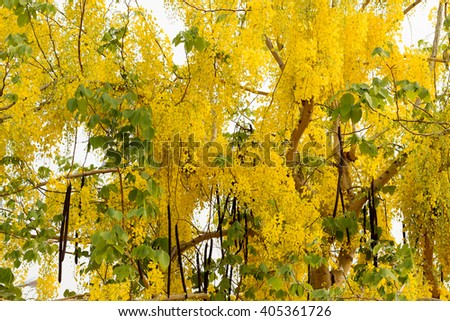Golden shower flowers. Cassia fistula. Thai golden flowers. Yellow bouquet. Thailand national flowers. Summer flowers. Blooming flowers.
