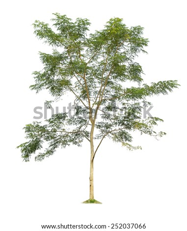 Golden shower tree isolated