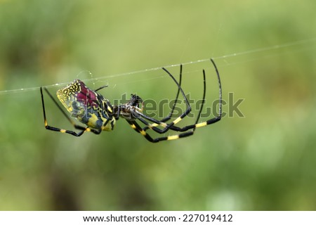golden silk spider `Nephila clavata` - stock photo