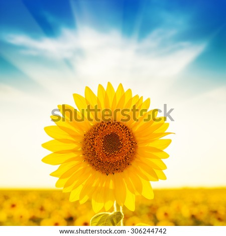 golden sunflower on field and sunset in blue sky - stock photo