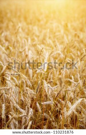 Golden sunset over wheat field. Shallow DOF, focus on ear - stock photo