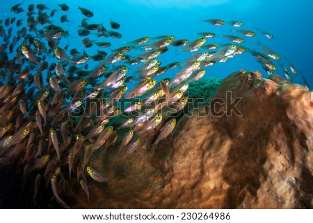 Golden sweepers school on a coral reef near the island of Sulawesi in Indonesia. This tropical region is within the Coral Triangle and harbors a huge amount of marine biodiversity. - stock photo
