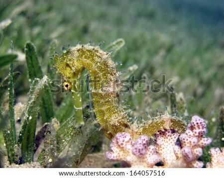 Golden thorny seahorse - stock photo