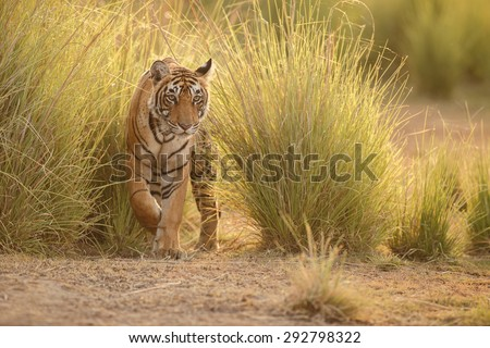 Golden tiger - stock photo