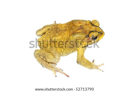 Golden toad isolated - stock photo