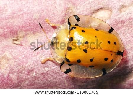 Golden Tortoise Beetle - stock photo