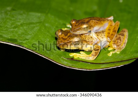 Golden Tree Frog,Dwarf frog legs,Aquixalus gracilipes - stock photo