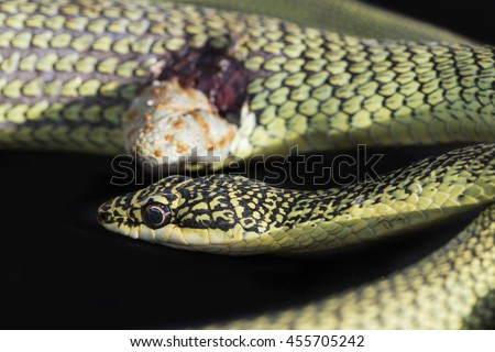 Golden tree snake eat gecko - stock photo