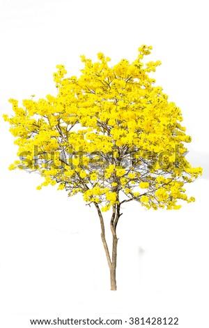Golden Tree Yellow Flowers Tree Tabebuia Stock Photo ...