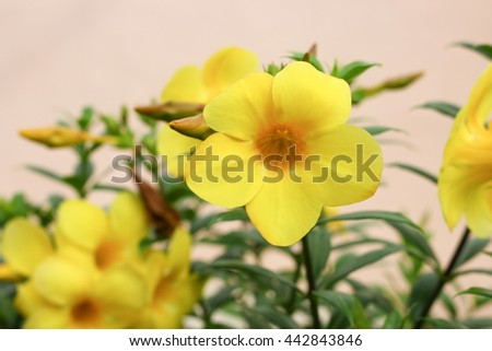 Golden Trumpet, Allamanda cathartica, willow-leaved climber blooming in the garden. Yellow flower.(Close up select focus front Golden Trumpet) - stock photo
