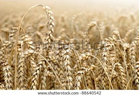 golden wheat - stock photo
