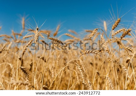 Golden wheat crops with blue sky in Canadian field - stock photo