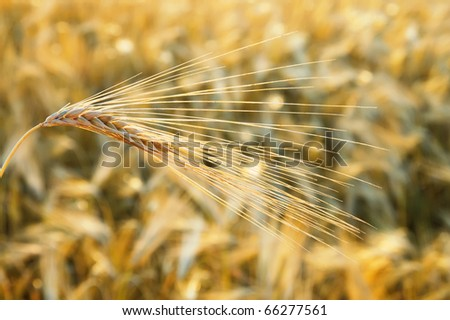 golden wheat ear. south Ukraine - stock photo
