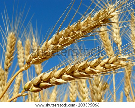 golden wheat ears against blue sky background - stock photo
