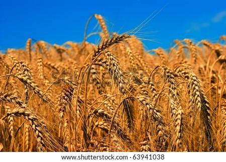 golden wheat ears on a blue sky background