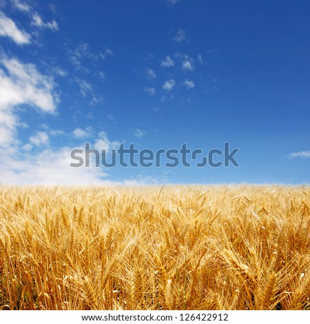 Golden wheat field against deep blue sky - stock photo