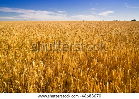 Golden wheat field and blue sky. - stock photo