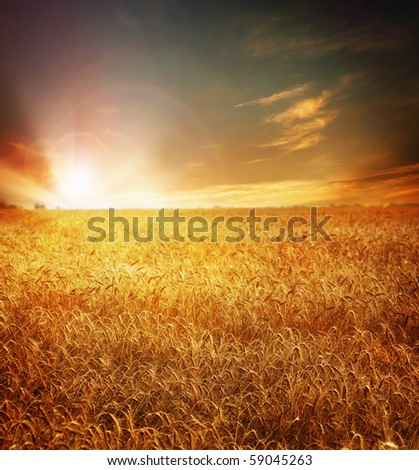 Golden Wheat field and Sunset - stock photo