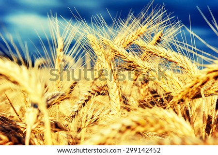 Golden wheat field at summer day. Closeup