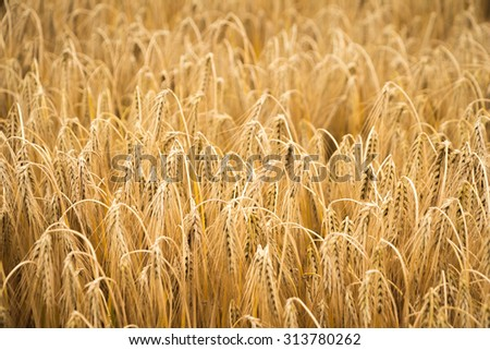 golden wheat field for harvest season. can be used for agriculture and harvest themes - stock photo