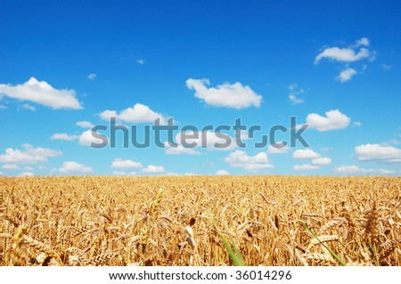 Golden wheat field on a background of the cloudy blue sky