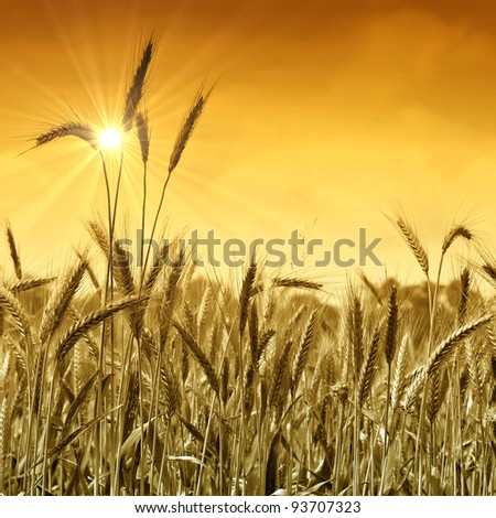 Golden wheat field ready for harvest under a sunny sky. - stock photo