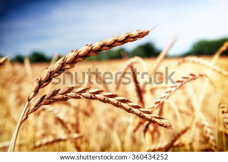 Golden wheat field (spelt wheat) at summer day. Closeup shot  - stock photo