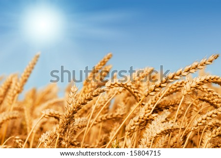 Golden wheat field under a blue sky and sunshine - stock photo