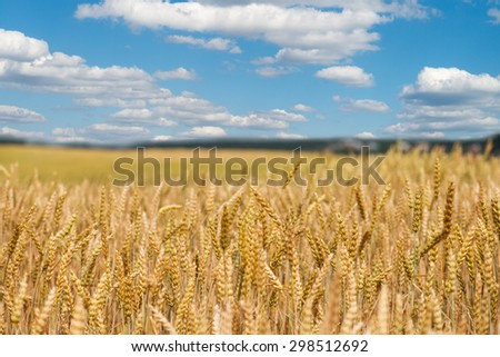 Golden Wheat Field. Wheat field ready for harvest. The focus in the foreground. - stock photo