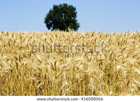 Golden wheat field with green tree in the back, horizontal image - stock photo